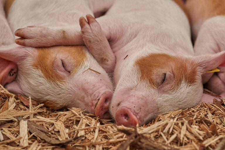 aanvragen uitkoopregeling varkenshouderijen